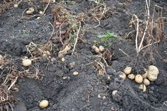 Freshly potatoes Royalty Free Stock Image