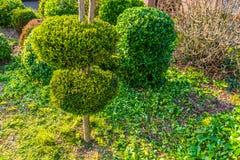 Freshly pruned backyard, garden maintenance, conifer tree with decorative round shapes. Afreshly pruned backyard, garden maintenance, conifer tree with stock photos