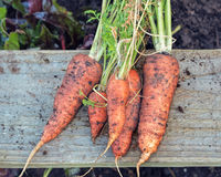 Freshly Pulled Organic Carrots. Vegetable Garden Home Grown Produce. Royalty Free Stock Images