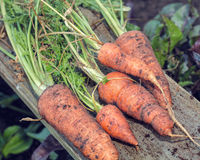 Freshly Pulled Organic Carrots. Vegetable Garden Home Grown Produce. Stock Images