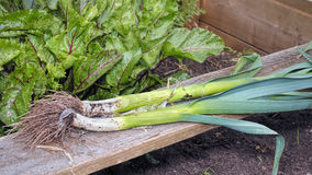 Freshly Pulled Organic Leeks. Vegetable Garden Home Grown Produce. A pair of leeks freshly pulled from the ground. Home organic raised bed vegetable garden Royalty Free Stock Photos