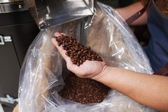 Freshly roasted beans. Roasted coffee beans in hand of barista Royalty Free Stock Image