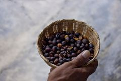 Freshly Roasted Coffee Beans held by a Farmer. Farm fresh roasted coffee beans held by a farmer in Jalisco, Mexico Royalty Free Stock Image
