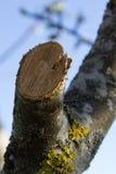 Freshly sawn apple twig Royalty Free Stock Images