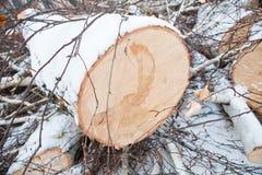 Freshly sawn birch trunk Stock Photo