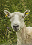 Freshly Sheared Sheep Royalty Free Stock Image