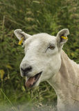 Freshly Sheared Sheep Stock Photo