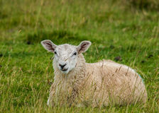 Freshly Sheared Sheep Stock Images