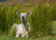Freshly Sheared Sheep Stock Image