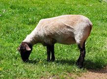 Freshly Shorn Sheep. Eating grass in pasture Stock Photography