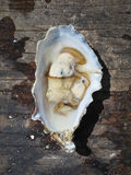 Freshly Shucked Oyster Royalty Free Stock Images