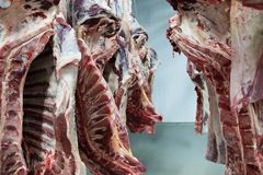 Freshly slaughtered halves of cattle. royalty free stock photos