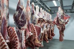 Freshly slaughtered halves of cattle. stock photography