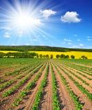 Freshly sown sunflower field. Spring landscape with freshly sown sunflower field Royalty Free Stock Images