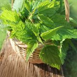 Freshly stinging nettles in basket Royalty Free Stock Photos