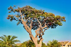 Royal Poinciana Tree Royalty Free Stock Images