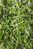 Freshly washed organic wild rocket Royalty Free Stock Images