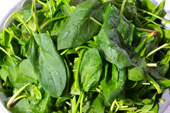Freshly washed spinach leaves Stock Photos