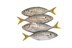Freshly Yellow Tail Scad Stock Photos