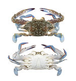 Freshness Blue swimmer crab or Blue manna crab isolated on white Royalty Free Stock Photo