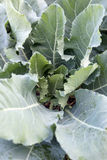 Freshness cabbage vegetables. Stock Photos