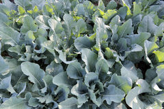 Freshness cabbage vegetables. Stock Photography