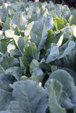 Freshness cabbage vegetables. Royalty Free Stock Images