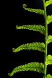 Freshness Fern leaf on black background royalty free stock photography