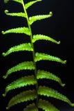 Freshness Fern leaf on black background royalty free stock images