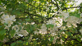 Freshness and flourishing. Flowering branch of apple in the rays of the setting sun spring evening. stock video footage