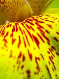 Freshness flower red spots on bright yellow fragile petal of Can Stock Images
