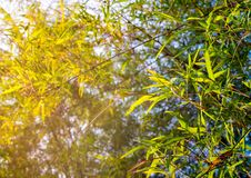 Freshness green color leaf of bamboo Stock Images