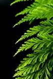 Freshness Green leaf of Fern on black background royalty free stock photos