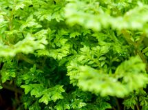 Freshness green leaf of Selaginella involvens fern. Close-up of Freshness Selaginella involvens fern, small fern leaves growing in the rain forest stock photography