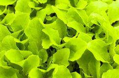 Freshness green lettuce salad texture Royalty Free Stock Photo