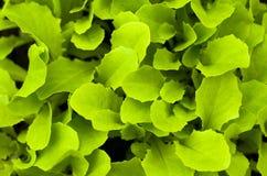 Freshness green lettuce salad texture Stock Image