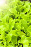 Freshness green lettuce salad texture Royalty Free Stock Photography