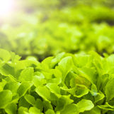 Freshness green lettuce salad texture Stock Photo