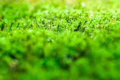 Freshness green moss growing on floor with water drops in the sunlight. Close-up of freshness green moss growing covered on stone floor with water drops in the royalty free stock photos