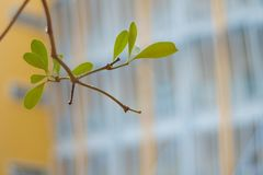 Freshness leaves and school building background. Freshness leaves on school building background royalty free stock photo