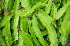 Freshness Psophocarpus tetragonolobus royalty free stock photo