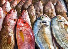 Fish Seafood on ice. Freshness rows of various raw freshly caught fish. Seafood on ice, background Sea food Stock Image