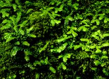 Freshness small fern leaves with moss and algae in the tropical garden. Close-up of freshness small fern leaves with moss and algae growing on the moist stone royalty free stock image