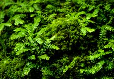 Freshness small fern leaves with moss and algae in the tropical garden. Close-up of freshness small fern leaves with moss and algae growing on the moist stone royalty free stock photography