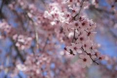 freshness, spring, details of cherry blossoms with beautiful pin Stock Photo