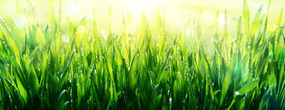 Freshness of spring. Dew on grass Royalty Free Stock Image