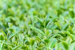 Freshness tea top in plantation Royalty Free Stock Photo