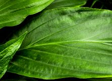 Freshness tropical leaves surface as rife forest background. Top view of full frame freshness tropical leaves surface texture in the rife forest nature stock photo
