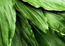 Freshness tropical leaves surface in dark tone as rife forest background. Full frame freshness tropical leaves surface texture in dark tone as rife nature royalty free stock images