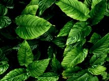 Freshness tropical leaves surface in dark tone as rife forest background. Top view of full frame freshness tropical leaves surface texture in dark tone as rife royalty free stock photo
